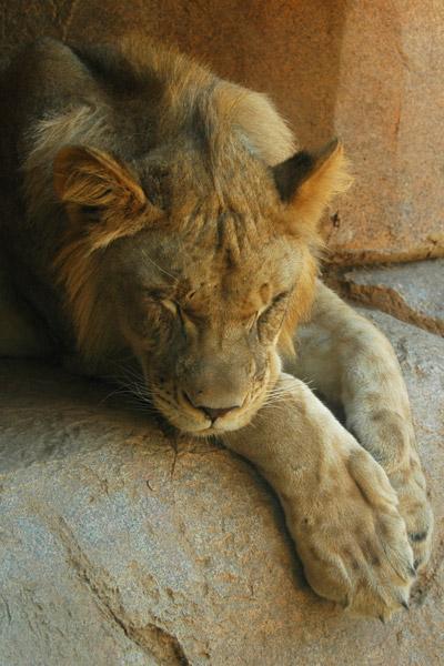 Roar I'm a lion